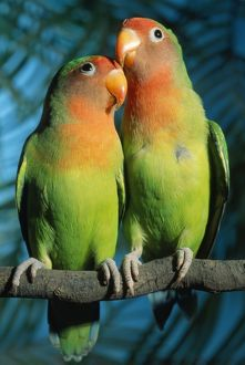 Fischer s / Peach-faced Lovebirds - Hybrid