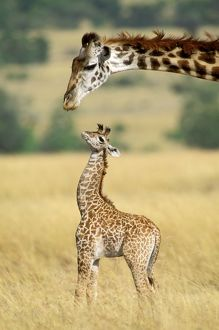 FL-3089-M Maasai Giraffe - mother and one week old young