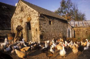 France - Farmyard with chickens