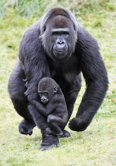 Gorilla - female carrying baby animal