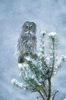 Great Grey OWL - perched on conifer in snow storm