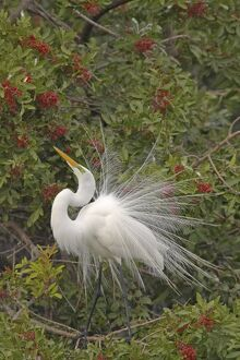 Great White Egret - Displaying in tree