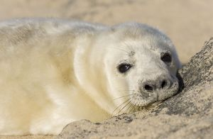 Grey Seal - pup on beach