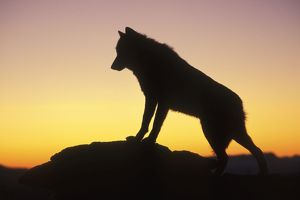 Grey Wolf / Timber Wolf - at sunrise