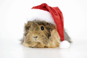 JD-22562 Guinea pig - wearing Father Christmas hat