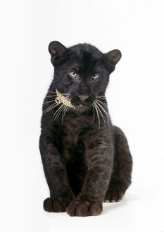 "LEOPARD - Ã'""Black PantherÃ' - cub, 16 weeks old, sitting, with diamond collar"