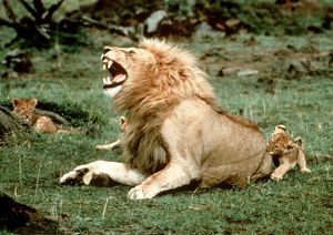 Lion - male roaring, with cub biting rump