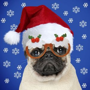 Pug dog wearing a Christmas Santa hat and Xmas Pudding glasses
