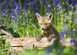 Red Fox - cub on log in bluebells