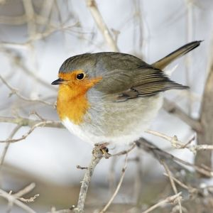 Robin - perched on branch in snow
