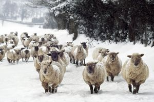 Sheep - Cross Breeds in snow