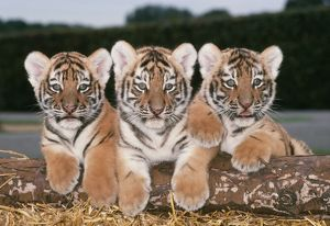 Siberian / Amur TIGER cubs - x three in a row