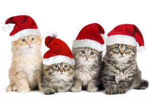 Siberian Cat - kittens in Christmas hats