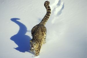 Snow Leopard - Endangered Species, walking through the snow, tail up, with shadow