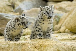 Snow Leopards - cubs