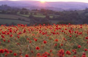 Sun illuminates rolling landscape of fields and woodland with foreground of rich crop of poppies (arable weed) amid ripening barley, backlit. Organic farming.