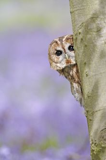 Tawny Owl - looking around tree in bluebell wood