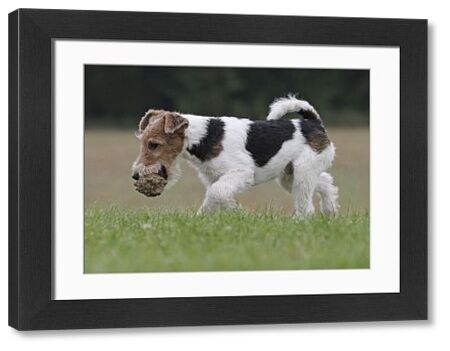 Dog - Wire-haired / Wirehaired Fox Terrier puppy Date