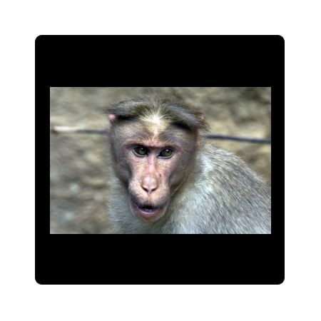 DH-3516 Rhesus MACAQUE MONKEY - Close-up of head Nilgiri Hills, part of the Western Ghats
