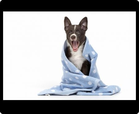 Cute dog sitting in blue blanket with a happy expression