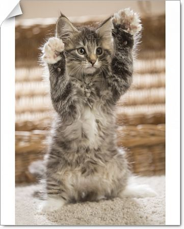 Norwegian Forest Cat, kitten on hind legs Date