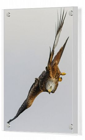 Red Kite - in flight - Castile and Leon, Spain.. Date