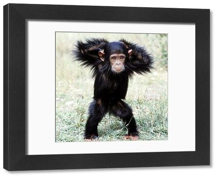 LA-1675-c Chimpanzee - young, with arms on head Pan troglodytes Jean Michel Labat Please note that prints are for personal display purposes only and may not be reproduced in any way
