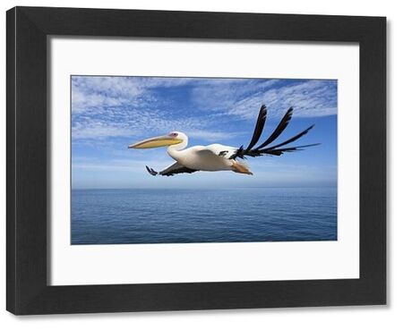 KAT-1-c Great White Pelican - In flight over the Atlantic Ocean near Walvis Bay Bay Namibia. Africa Pelecanus onocrotalus Karl Terblanche Please note that prints are for personal display purposes only and may not be reproduced in any way