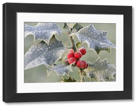 BB-1082 Frost on Holly Ilex aquifolium Brian Bevan Please note that prints are for personal display purposes only and may not be reproduced in any way