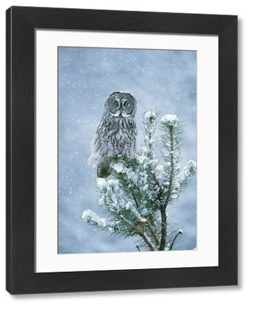 JZ-1504 Great Grey OWL - perched on conifer in snow storm Bracebridge, Ontario, Canada. Strix nebulosa Jim Zipp Please note that prints are for personal display purposes only and may not be reproduced in any way