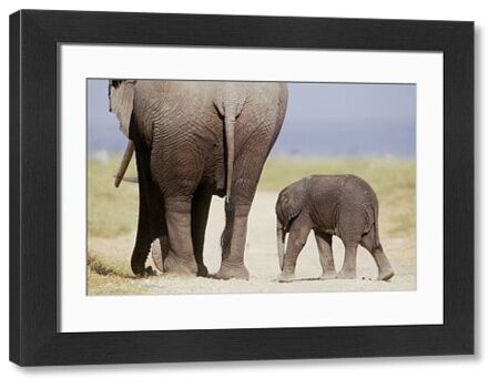 FL-750 AFRICAN ELEPHANT - WITH YOUNG Amboseli National Park, Kenya, Africa Loxodonta africana Ferrero Labat Please note that prints are for personal display purposes only and may not be reproduced in any way