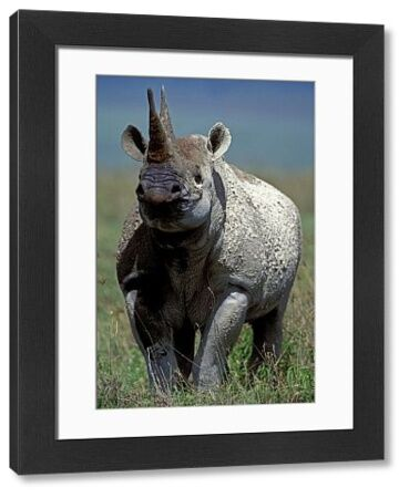 LA-1118 Black / Hooked-lipped Rhinoceros Ngorongoro Crater, Tanzania, Africa Diceros bicornis Jean Michel Labat Please note that prints are for personal display purposes only and may not be reproduced in any way
