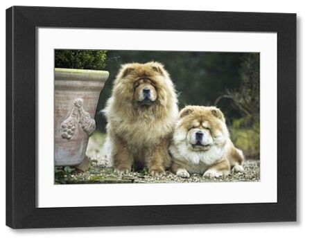 LA-1376 Chow Chow Dogs - two sitting together The Chow is a Chinese Spitz breed Jean Michel Labat Please note that prints are for personal display purposes only and may not be reproduced in any way