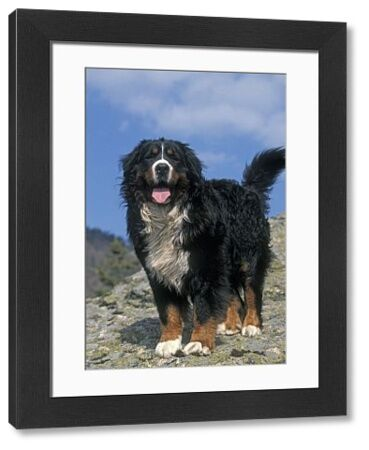 LA-1384 Bernese Mountain Dog - With mouth open and tongue out Jean Michel Labat Please note that prints are for personal display purposes only and may not be reproduced in any way