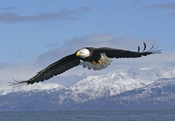 JZ-1839 Adult Bald Eagle in flight. Homer Alaska. Haliaeetus leucocephalus Distribution: Alaska, Canada and USA Jim Zipp Please note that prints are for personal display purposes only and may not be reproduced in any way