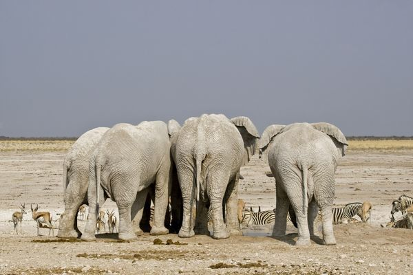 Elephant adults only