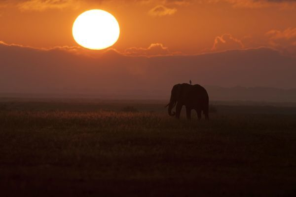 African Elephant - at sunset (Loxodonta africana) Date