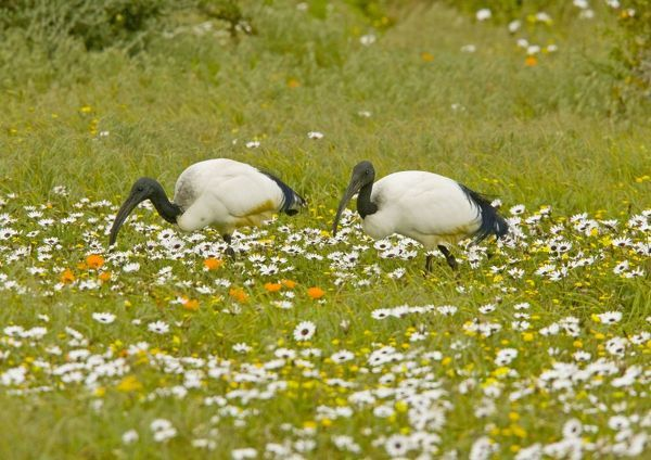 ROG-13756 African Sacred Ibis - pair feeding in flowery pasture at Postberg, West Coast National Partk, South Africa Threskiornis aethiopicus Bob Gibbons Please note that prints are for personal display purposes only and may not be reproduced