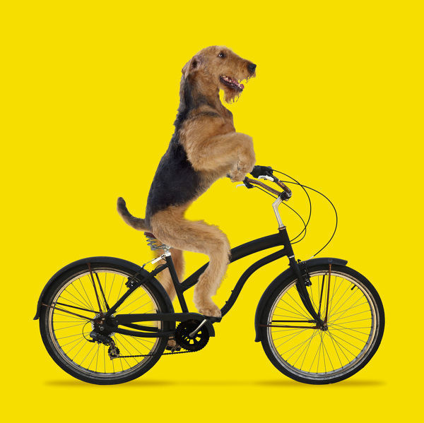 Airedale Terrier Dog, riding bike. Digital manipulation Date