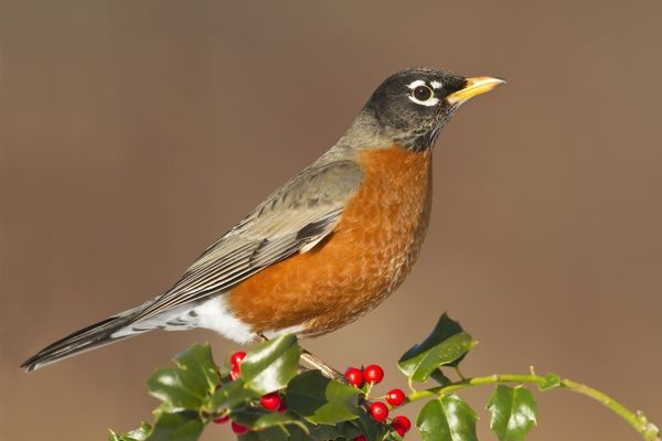 JZ-3679 American Robin - with holly berries in winter January in Connecticut, USA Turdus migratorius Jim Zipp Please note that prints are for personal display purposes only and may not be reproduced in any way