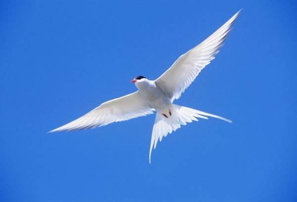 JD-17862 Arctic TERN - in flight Sterna paradisaea A long distance migrant that makes an annual round trip from its Arctic or northern breeding range to the Antarctic, where it spends winter. The breeding range extends through Iceland, Greenland