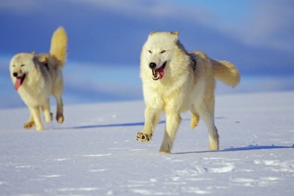 Arctic Wolf Arctic Gray Wolf Running In Snow Tom