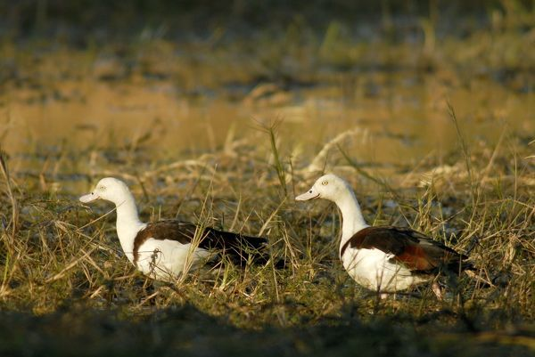AUS-1928 Radjah shelducks or Burdekin ducks - pair on a floodplain wetland of the Wilton River a wild river and tributary of Roper River, Wongalara Station Reserve, southeast Arnhem Land, Northern Territory, Australia Tadorna radjah Wayne Lawler