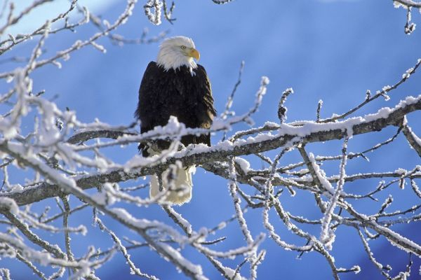 TOM-1185 Bald Eagle - perched on tree limb after winter snow. Alaska, USA Haliaeetus leucocephalus Tom & Pat Leeson Please note that prints are for personal display purposes only and may not be reproduced in any way