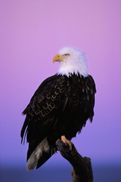 TOM-697 Bald Eagle - Sitting on perch a half hour before sunrise USA Haliaeetus leucocephalus Tom & Pat Leeson Please note that prints are for personal display purposes only and may not be reproduced in any way