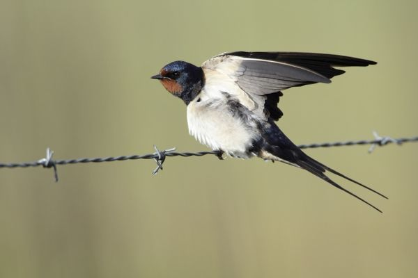 USH-4106 Barn Swallow - stretching wings, perched on fence Lower Saxony, Germany Hirundo rustica Duncan Usher Please note that prints are for personal display purposes only and may not be reproduced in anyway