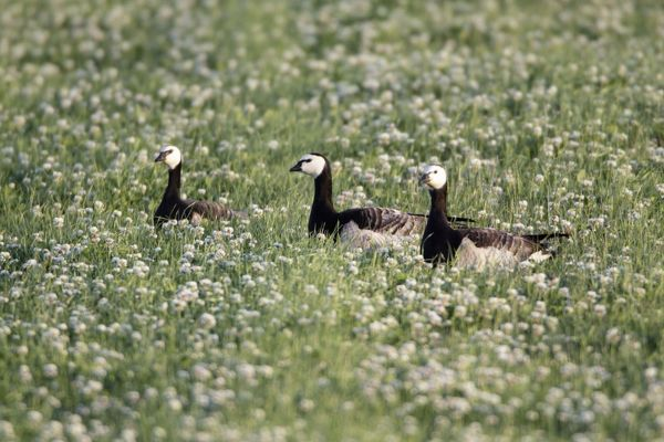 USH-4225 Barnacle Geese - resting on field of clover Island of Texel, Holland Branta leucopsis Duncan Usher Please note that prints are for personal display purposes only and may not be reproduced in anyway