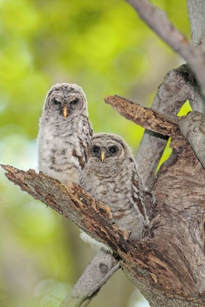 Barred Owl chicks sitting on branch outside nesting cavity May. Connecticut, USA. Date