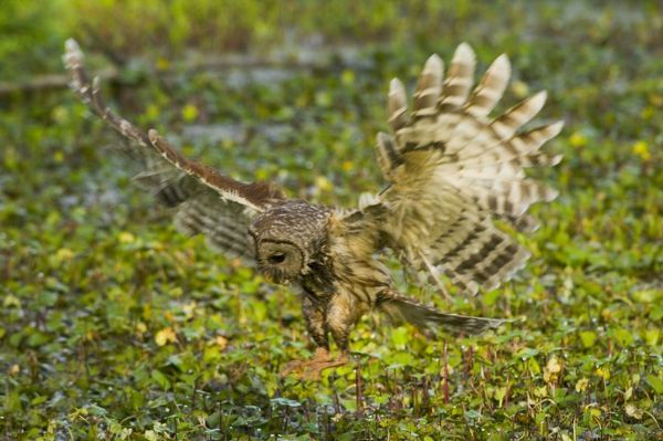 Barred Owl About To Land With Wings Open Tom 1062 Barred Owl