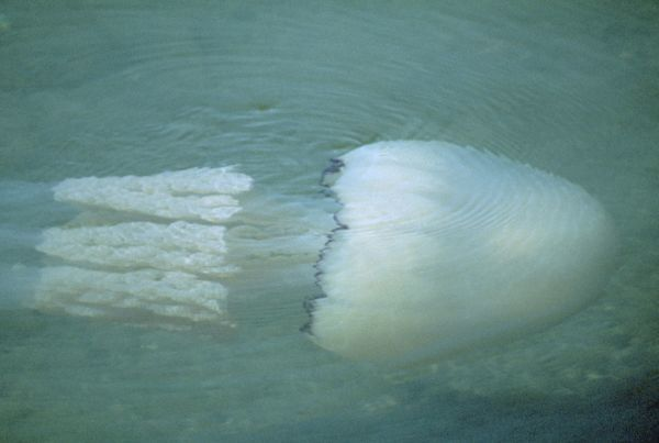DWG-881 Barrel JELLYFISH  Torbay, Devon, UK Rhizostoma octopus D. W. Greenslade Please note that prints are for personal display purposes only and may not be reproduced in any way
